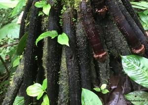 Penis Root Tree