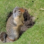 Red Squireel
